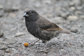 Ground finch, the main reason for a visit to the Galapagos