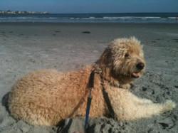 Seamus at the beach in Maine
