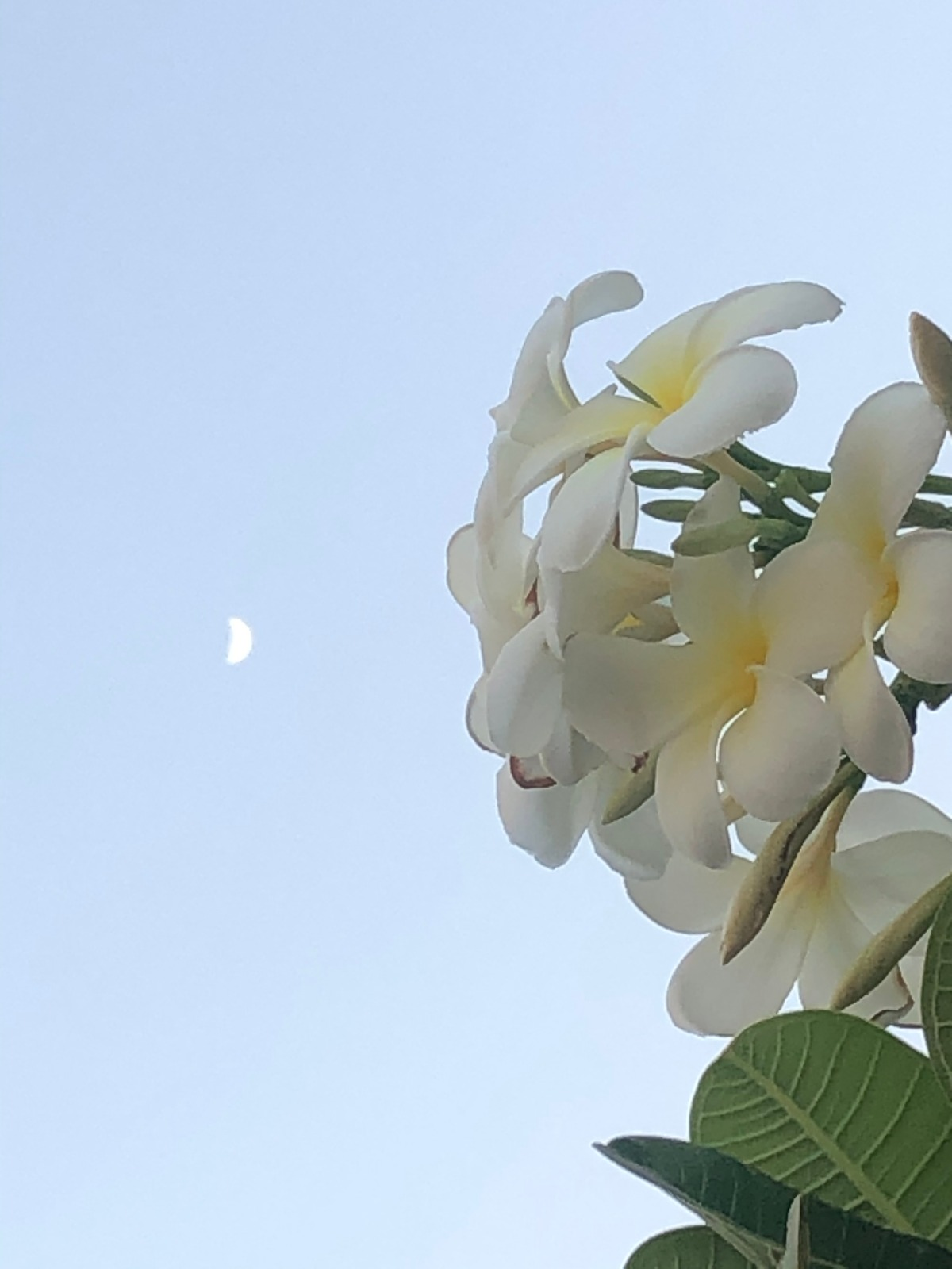 Where the Moon Meets The Calachuchi flower