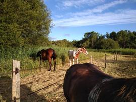 chevaux_pré.jpg