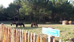 shetlands et poneys
