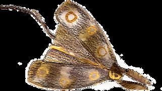 moth 3.png