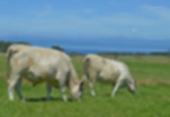 Taupo Beef Cattle