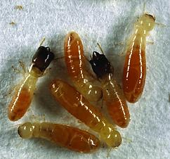 Cryptotermes-sp-Kalotermitidae.png
