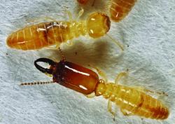Microcerotermes-