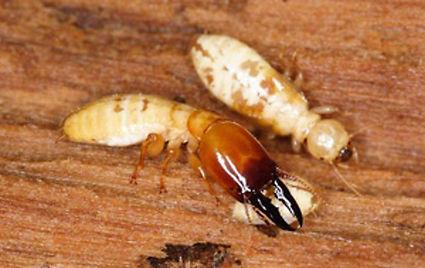 dampwood-termite-soldier-and-worker.jpg