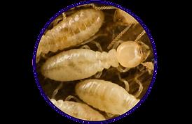 termite close up.png