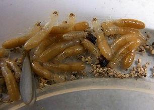 drywood-termites.jpg