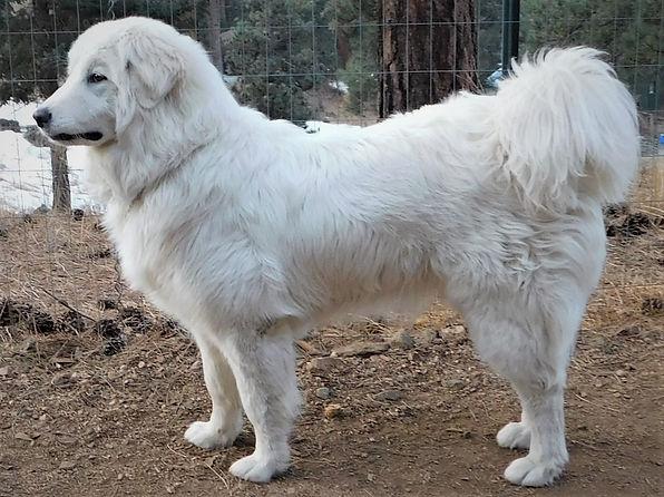 RockyMountainCompaniondog puppy