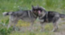 Ameican Alsatian Direwolf Dog