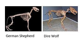 Dire Wolf vs. Dog comprison