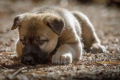 Rocky Mountain Companion Dog puppy Stella Blue