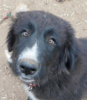 Fennario's Otto Colorado Mountain Dog