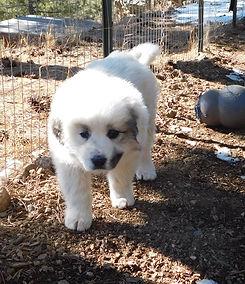Rocky Mountain Companion Dog