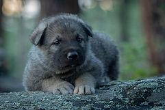 RMCD puppy