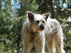 American Alsatian Direwolf Dog