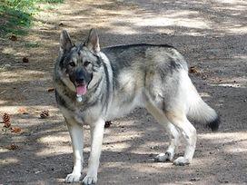 American Alsatian Direwolf Dog August West