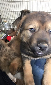 Rocky Mountain companion Dog puppy for sale in Evergreen Colorado