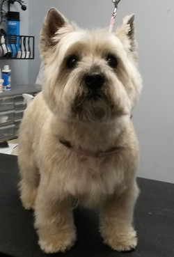 Cairn Terrier - full head