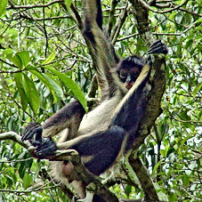 Peten ahvis, Guatemala džungel