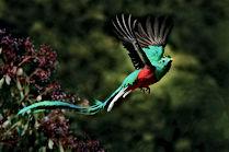 quetzal Guatemala rahvuslind, Alt Verapaz