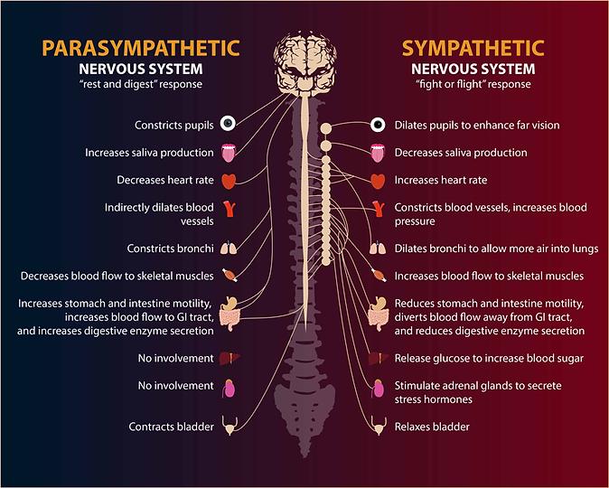 Blog025_autonomic-nervous-system.png