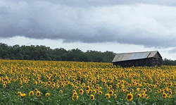 Sunflowers Southern Downs Queensland