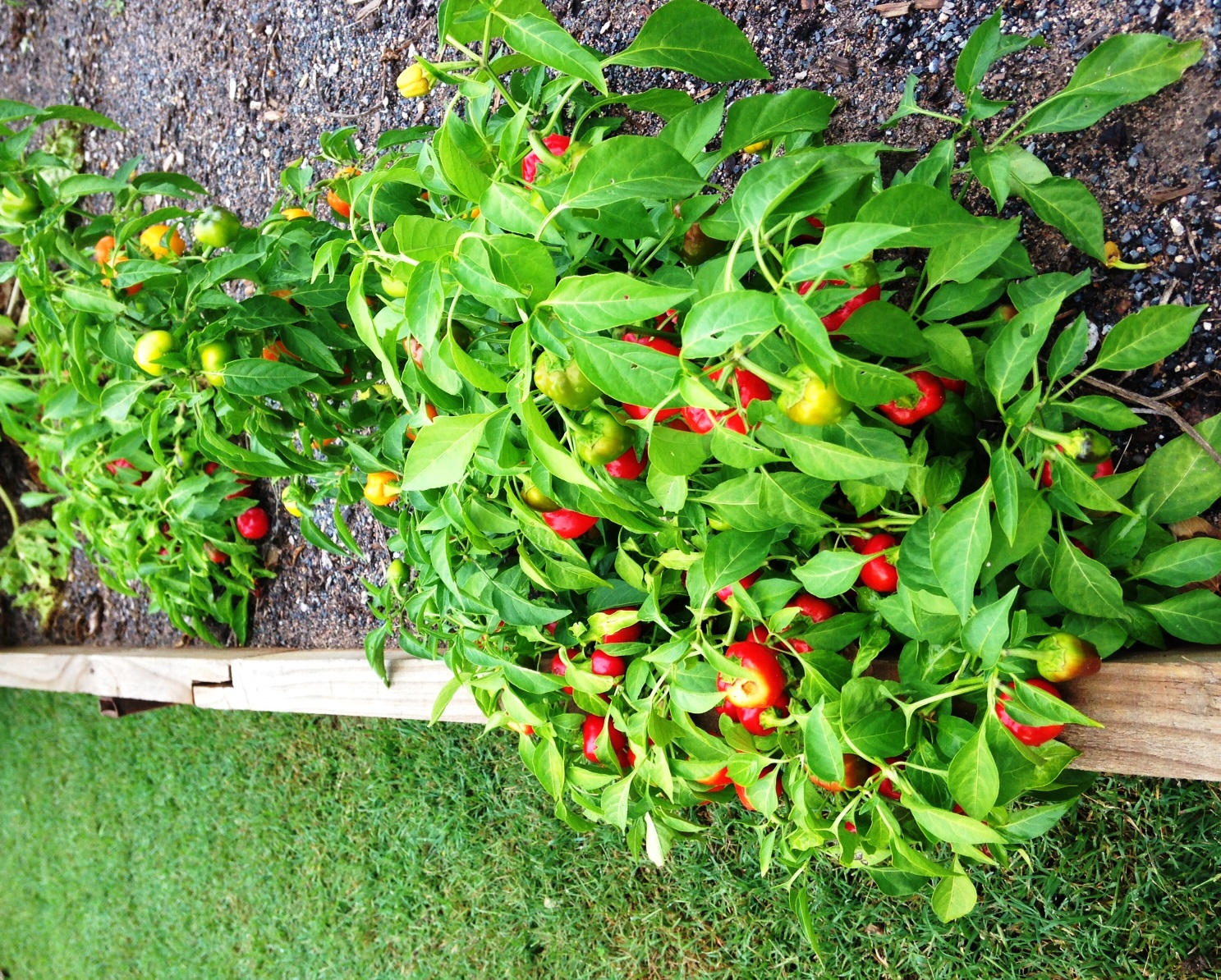 Vegetable garden with capsicum.