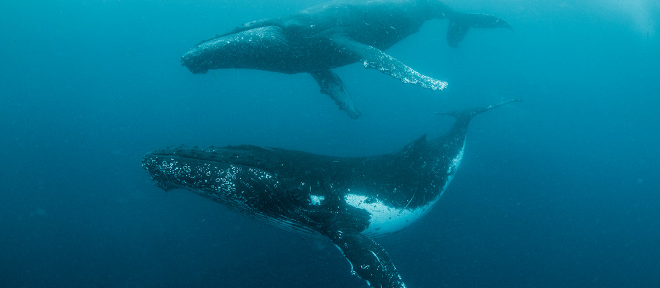 WHALES IN iSIMANGALISO'S MARINE PROTECTED AREA