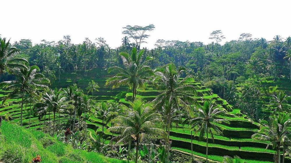 ubud-bali-indonesia-rice-fields