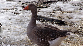 GOOSE%20-%20CONTACT%20Bottom%20Row%20Lef
