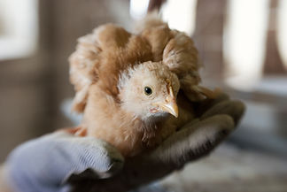 Buff Orpington Chick 041313 - LINKS Top