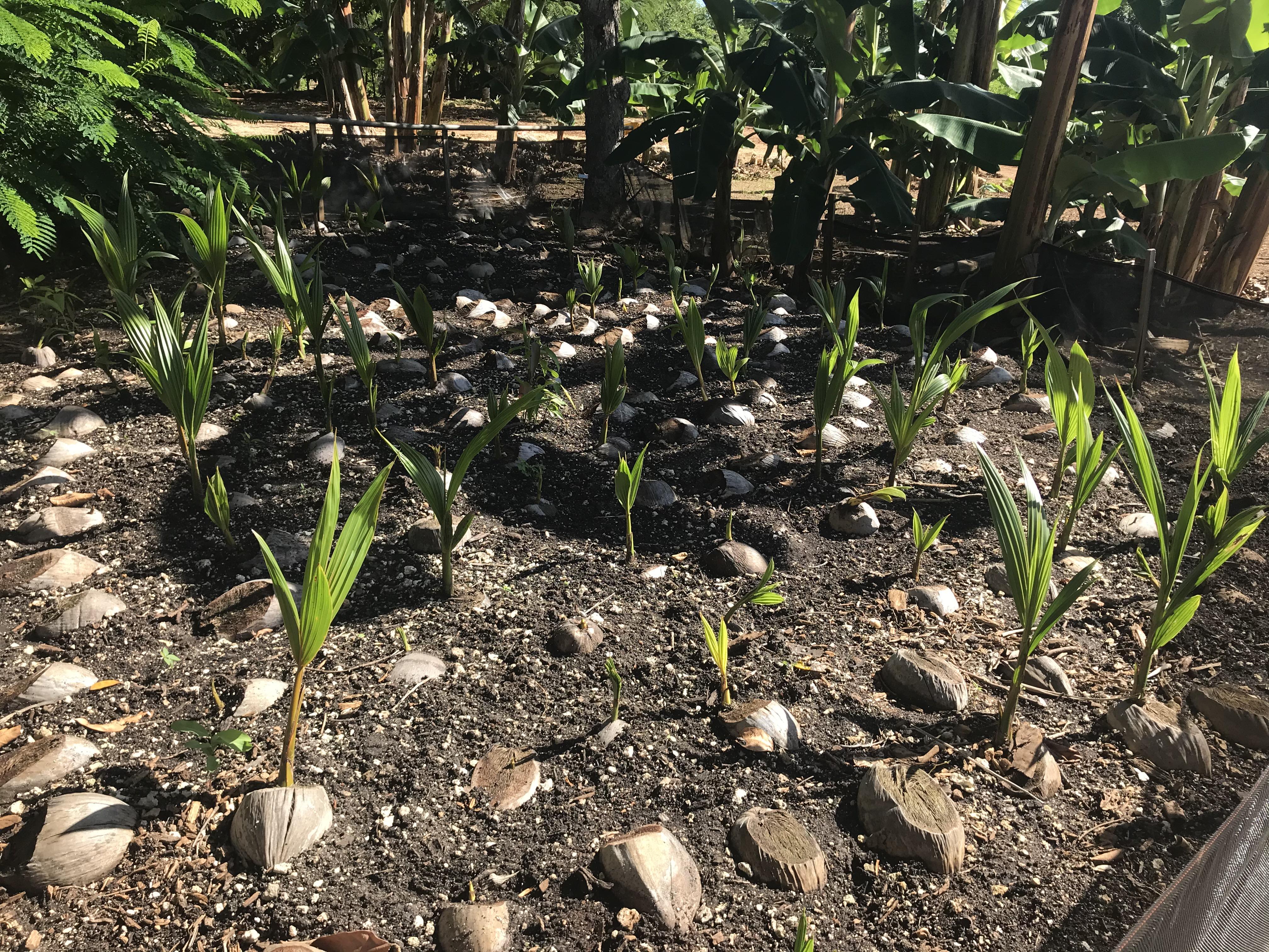 2020.12.01 - Coconut nursery 2