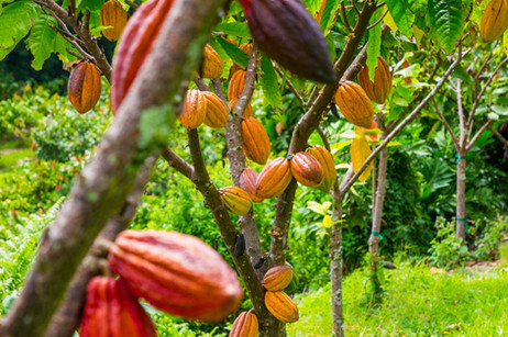 CACAO ORCHARD