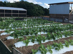 NEW TOBACCO VARIETY BEDS