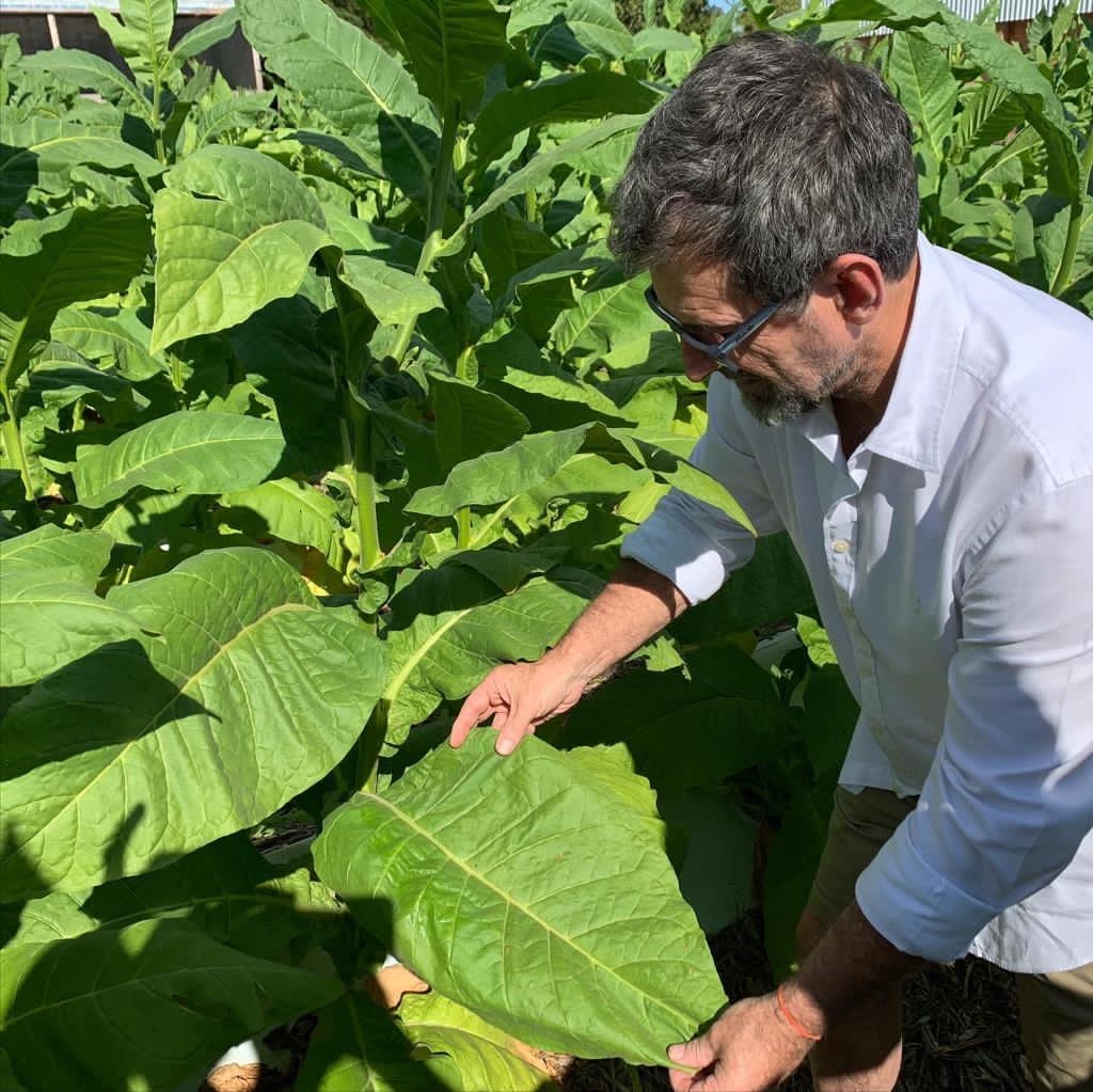 Alex tobacco