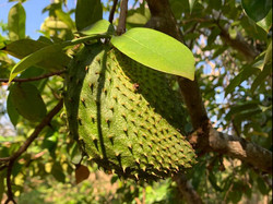 Sour sop season