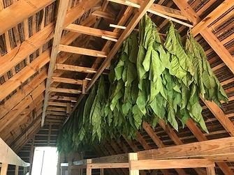 2021.03.03 - hanging tobacco.jpg