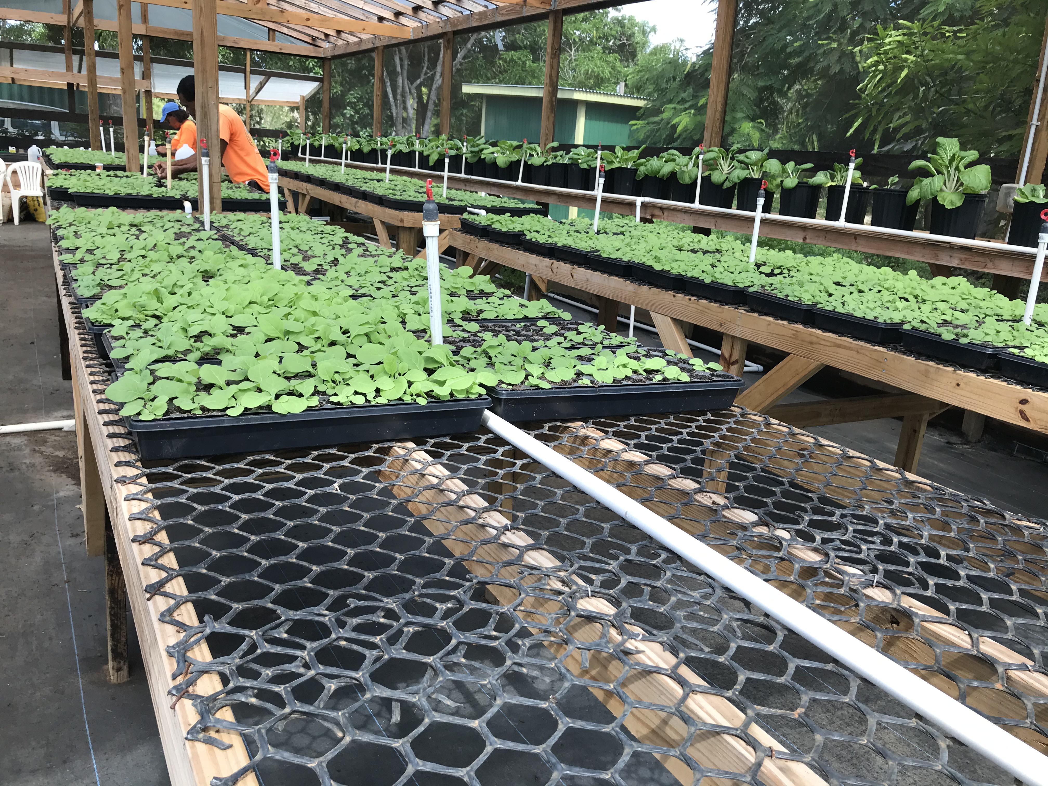 2020.10.08 - Tobacco seedlings 2