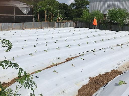 2020.11 - planting broadleaf tobacco.jpg