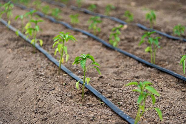 drip irrigation.jpg