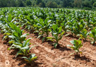 TOBACCO CROP COMING ON