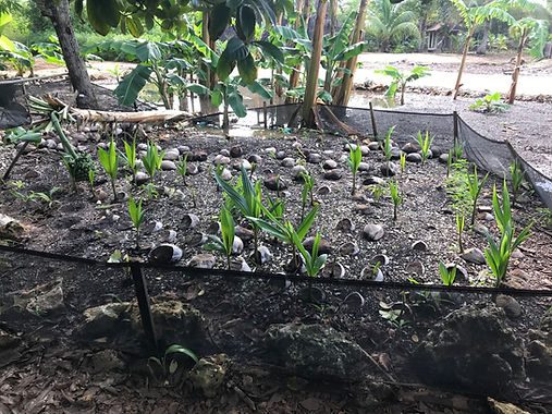 Coconut nursery .jpg