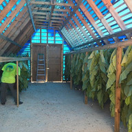 INSIDE TOBACCO DRYING HOUSE