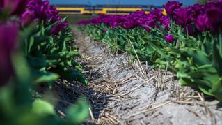 Tulpen met trein