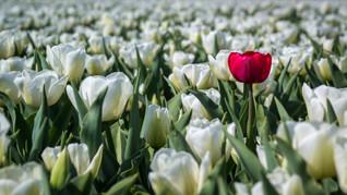 De eigenzinnige tulp