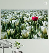 De eigenzinnige tulp (Bollenstreek, Holland)