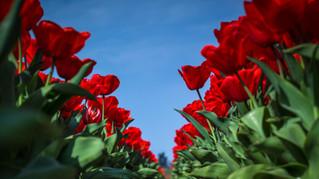 Tulpen van onderaf gezien.