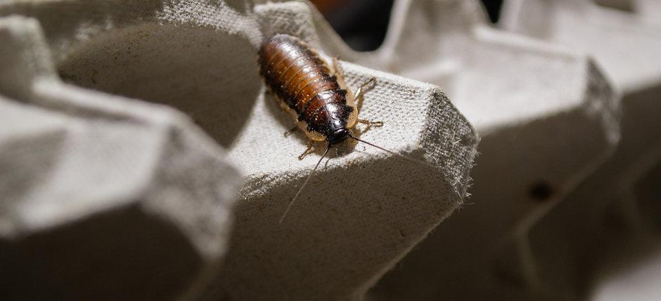 Madagascar Hissing Roach Starter Colony