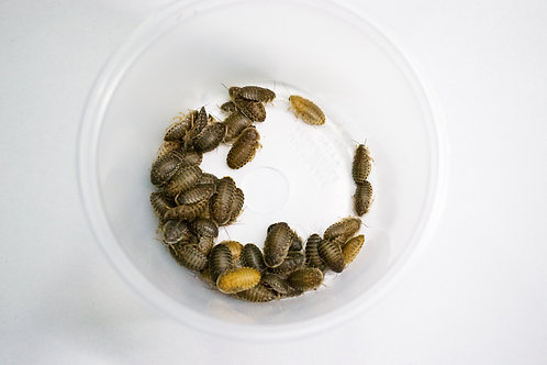 Medium Dubia Nymphs